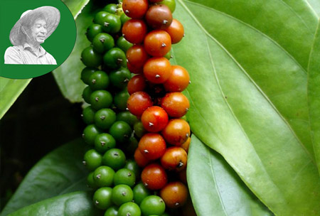 Indian black pepper price today