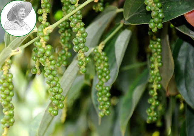 black pepper price reduce, high supply